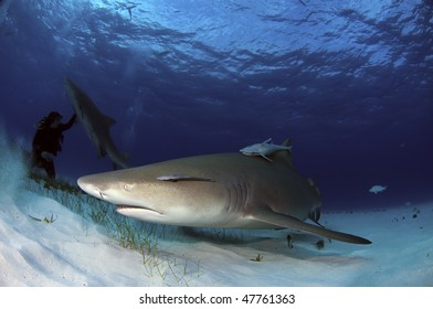 Lemon sharks at Tiger Beach, Bahamas