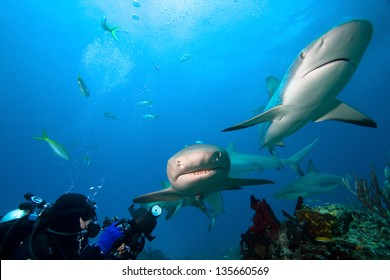 Lemon sharks and underwater photographer