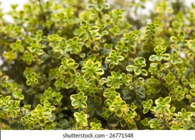 Lemon thyme in a pot
