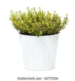 Lemon thyme in a pot, isolated