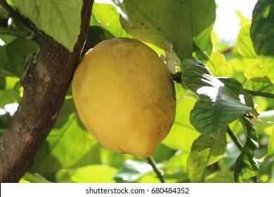Lemon in the tree