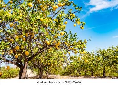 lemon tree in blue sky