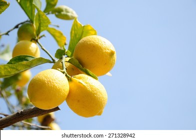 Lemon tree branch full of fruits