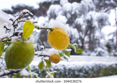 Lemon tree branch with snow,