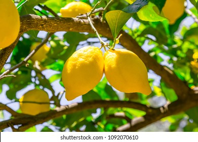 Lemon tree branches with fresh in a garden at Fethiye. Mugla-Turkey