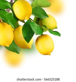 Lemon tree, fruits, isolated