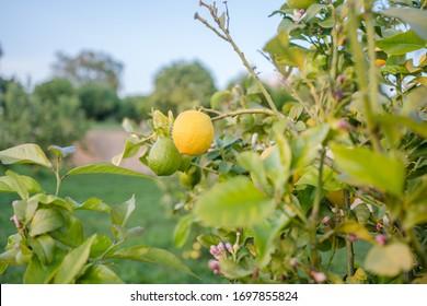 Lemon tree fruits outdoors garden background