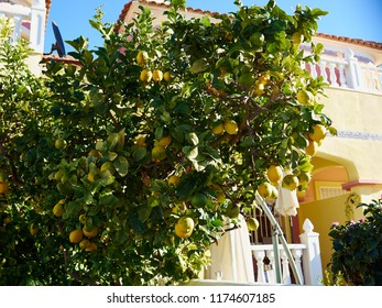 Lemon tree full of fruit in front of a classical traditional house Alicante Spain