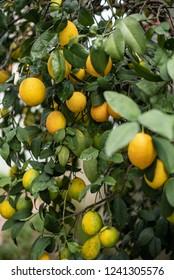 Lemon tree full of fruits, selective focus