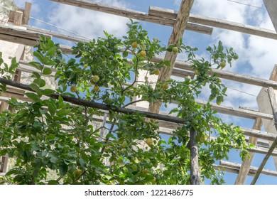 Lemon tree in a lemon greenhouse in Italy