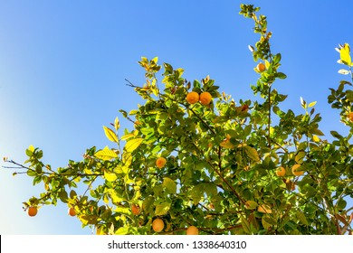 Lemon tree with lemons on the branch ready to pick