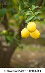 A lemon tree loaded with ripe fruit