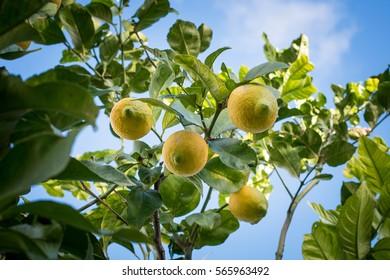 Lemon tree on the blue sky background