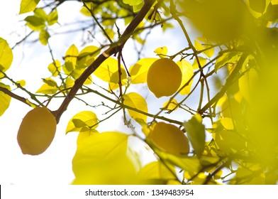 Lemon tree on sunny day