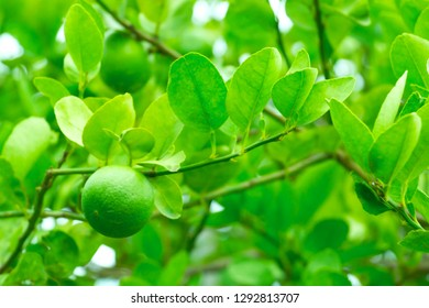 Lemon tree in the plantation with a green lemon fruit on branches in closeup.
