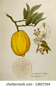 Lemon tree. Reproduction of vintage botanical book