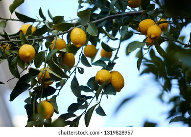 lemon tree with ripe lemons