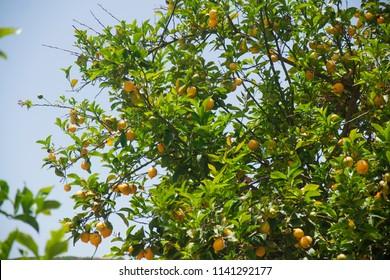 lemon tree with ripe yellow lemons