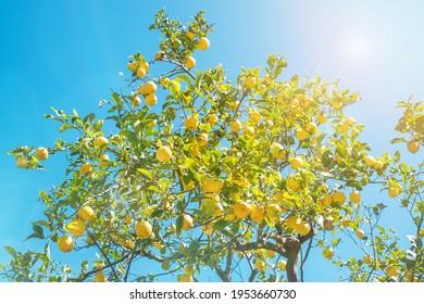 lemon tree with sun rays and blue sky
