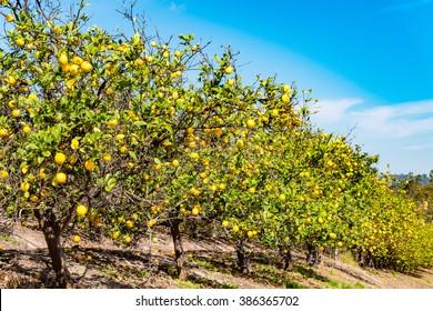 lemon trees in blue sky