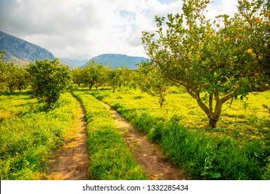 Lemon trees in a citrus grove in Sicily in Italy