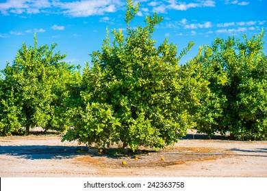 Lemon Trees Field. Lemon Plantation in California, United States.
