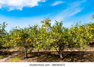 lemon trees line