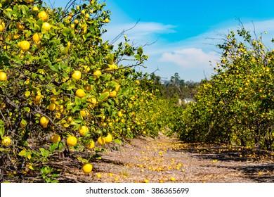lemon trees line in blue sky