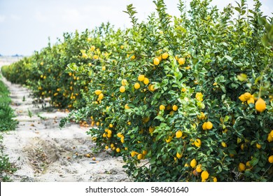 Lemon trees in local orchand