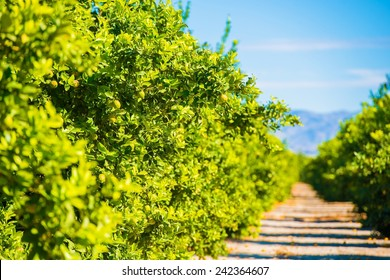 Lemon Trees Plantation. Lemon Trees Farm Field in California, United States.