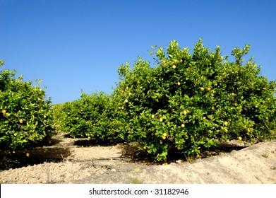 Lemon trees plantation with ripe fruits