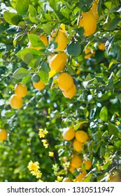 Lemon trees with yellow ripe delicious fruit in the citrus grove orchrd near the house -  food crop, permaculture.
