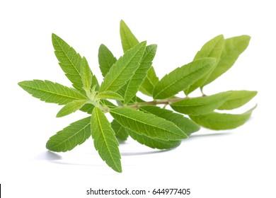 Lemon Verbena (beebrush) isolated on white background