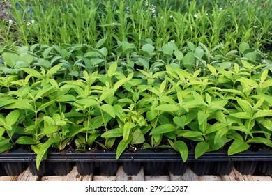 Lemon verbena growing in a greenhouse