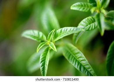 lemon verbena herb
