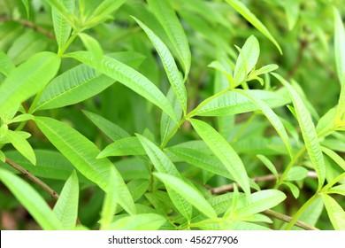 Lemon verbena herb field