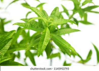 lemon verbena, for herb tea, for fragrance, nice smell like a lemon. French name is verveine.lemon verbena image