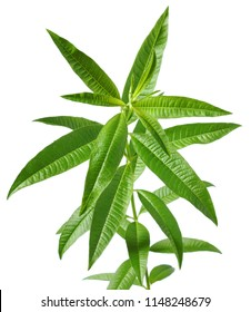lemon verbena, for herb tea, for fragrance, nice smell like a lemon. French name is verveine.