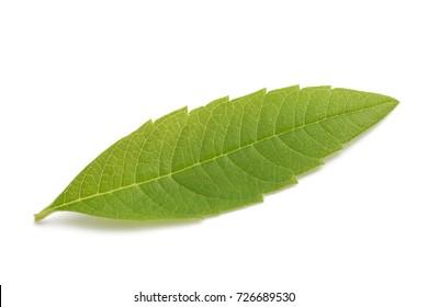 Lemon Verbena leaf(beebrush) isolated on white background