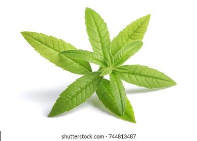 Lemon Verbena sprig (beebrush) isolated on white background