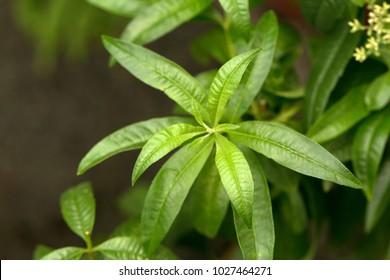 Lemon verbena's green leaves (Aloysia citrodora)