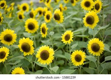 Lemon yellow sunflowers, shallow DOF