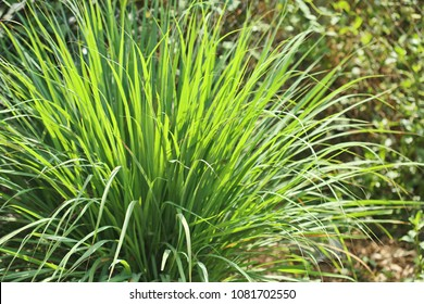 Lemongrass bush (Cymbopogon) - a genus in the grass family