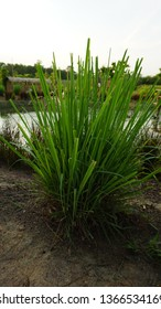 Lemongrass or Cymbopogon citratus is a tall, perennial grass in a class of about 45 species of grasses native to the tropical and sub-tropical climates of Asia