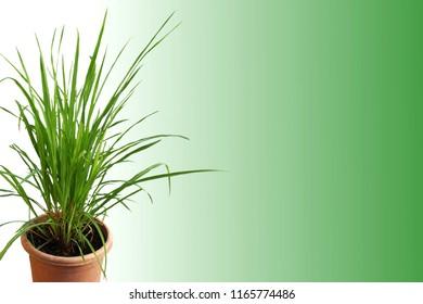 lemongrass Cymbopogon or citronella grass plant