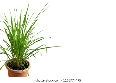 lemongrass Cymbopogon or citronella grass plant