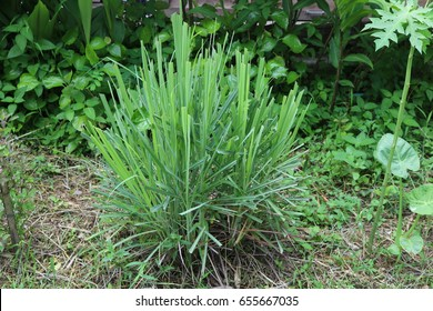 Lemongrass. A fragrant tropical grass that yields an oil that smells lemon. It is widely used in Asian cooking and in perfumery and medicine.