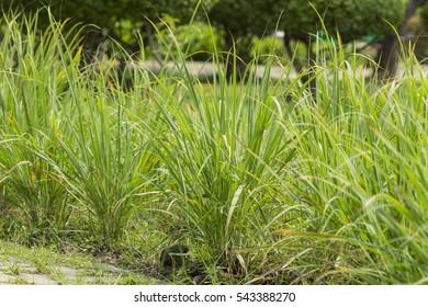 Lemongrass grown in the vegetable garden