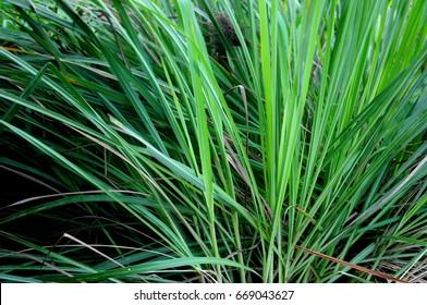 Lemongrass herb vegetable.