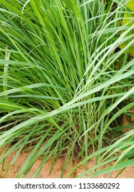 Lemongrass or Lapine or Lemon grass or West Indian or Cymbopogon citratus were planted on the ground. It is a shrub, leaves are long and slender. It is an herb which was made into food and medicine